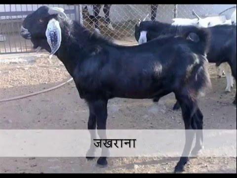 Xxx Mp4 बकरी नस्ल तथा उसकी विशेषता Goat Breeds In Rajasthan India 3gp Sex