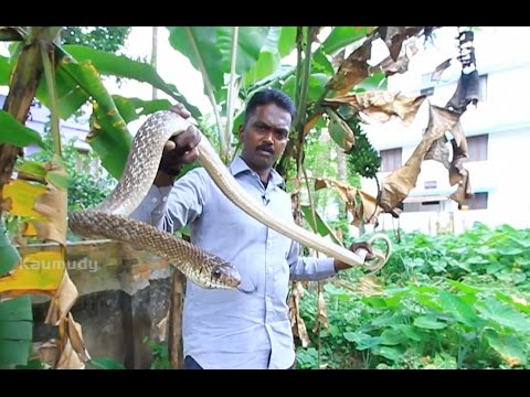 Vava Suresh Rescuing a Common Krait & Two Big Rat Snakes | SNAKE MASTER Ep 193 | Kaumudy TV