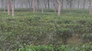Tea Garden, Srimongol, Bangladesh