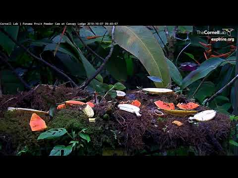 Xxx Mp4 Panama Fruit Feeder Cam At Canopy Lodge Powered By EXPLORE Org 3gp Sex