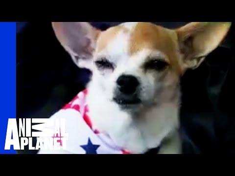 Xxx Mp4 Chihuahua Dogs 101 3gp Sex