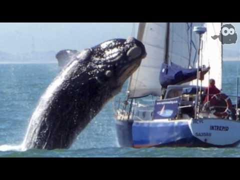 La balena contro lo yacht il video contestato dubbi sull originalità