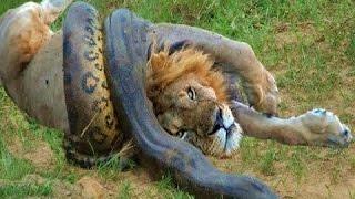 Python vs Lion (Python Kills Lions NEW 2016 Video)