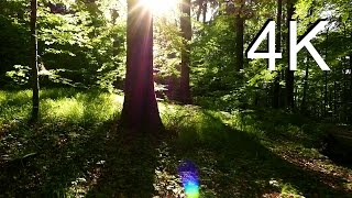4K Nature Video, MAY FOREST WALK