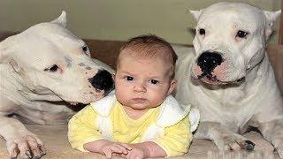 DOGO ARGENTINO DOG BABYSITTER | Dog loves Baby Videos