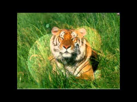 Tiger Video And Photo