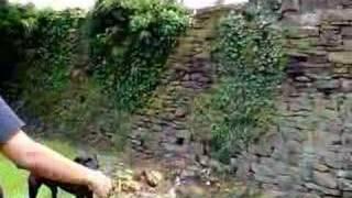 Pit Bull Jumps 12 foot Wall UK Pitt Bull Pitbull