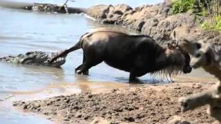 صراع البقاء بين حيوان النّو و تمساح عملاق