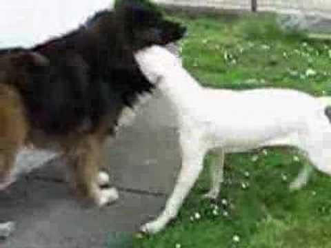 Argentino dogo VS Caucasian ovcharka