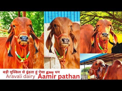arawli desi gir cow sell best breed 9414745465
