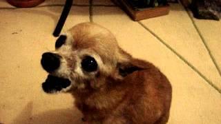 Cachorro flamenguista