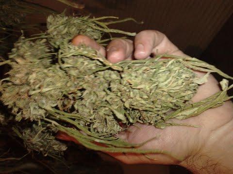 Como tener cogollos de marihuana ricos en sabor y olor makapeta.