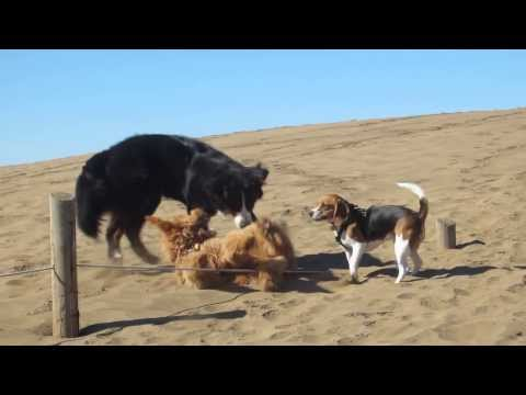 Bernese Mountain Dog Shintaro and BF Mofmof at Fort Funston