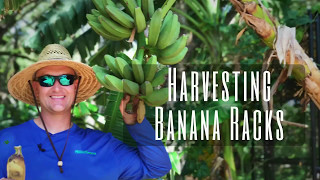 Harvesting Bananas in the Food Forest!