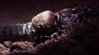 Male Ant Pulls Off Own Wing to Mate with Queen | Natural World: Ant Attack | BBC Earth