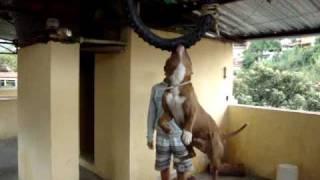 Pitt bull - Lord, 2° dia em treinamento pneu..MPG