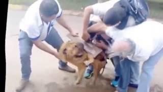 un Pit Bull attaque un chien sans défense!!
