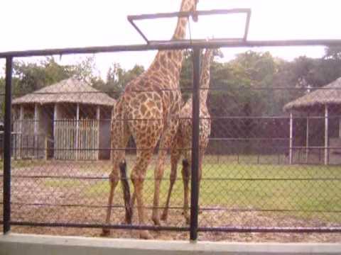 Tentativa de Acasalamento das Girafas
