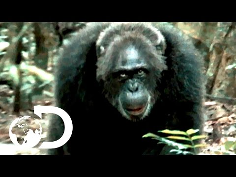 Xxx Mp4 Most Brutal Chimpanzee Society Ever Discovered Rise Of The Warrior Apes 3gp Sex