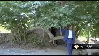 Iran Dushangan village, Darmian county, Ancient plane tree درخت چنار باستاني روستاي دوشنگان درميان