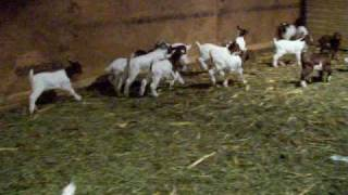 Baby Boer Goats Playing Jamaica Iowa