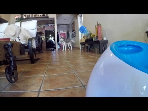 Husky Plays With iFetch Automatic Dog Ball Launcher