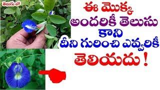 ఈ మొక్క గురించి తెలిస్తే | #Clitoria Ternatea or Sanku Pushpam plant uses by Telugu World Visite