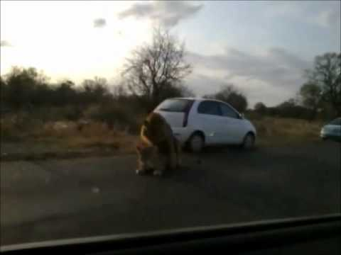 Xxx Mp4 Lion Having Sex In Kruger National Park Wmv 3gp Sex
