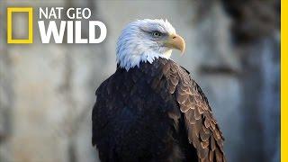 Bald Eagle Feeding Frenzy | United States of Animals