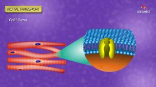 Animated Membrane Physiology USMLE - Carrier mediated transport , Active transport