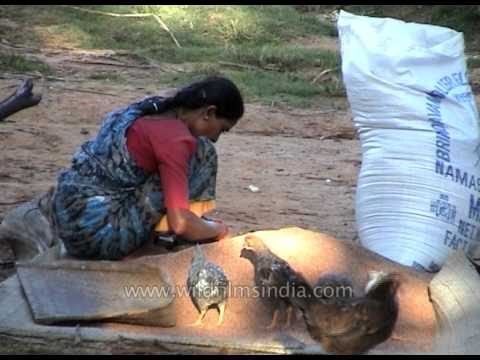 Indian village woman sieves and bags  wheat, as her chickens feed nearby