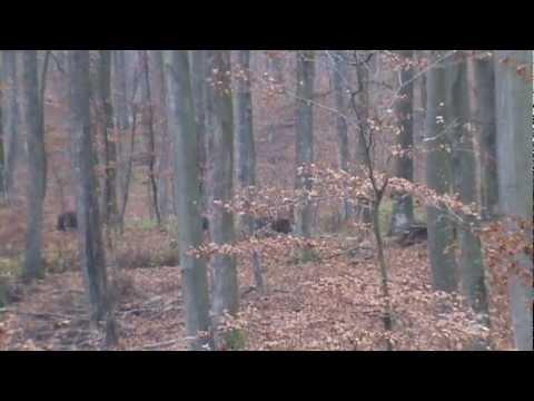 Lov divlje svinje u Levinovcu