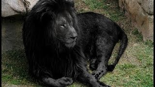 BLACK LIONS MYTH & other Real Lion Hybrid Facts