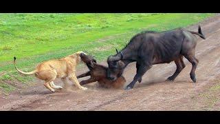 Lions hunting a buffalo  Serengeti NP, Tanzania
