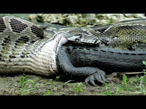 Xxx Mp4 Python Eats Alligator 02 Time Lapse Speed X6 3gp Sex