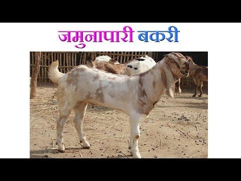 Xxx Mp4 Jamunapari Goat Benefits जमुनापारी बकरी की विशेषताएं 2016 3gp Sex