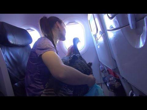 Xxx Mp4 Woman Takes Service Turkey On Flight For Trip To Scatter Husband S Ashes 3gp Sex