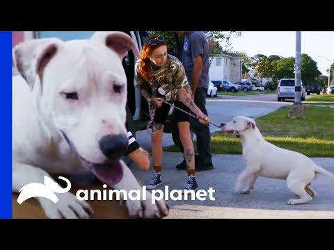Rescuing A Deaf Pit Bull Caught By A Good Samaritan Pit Bulls & Parolees