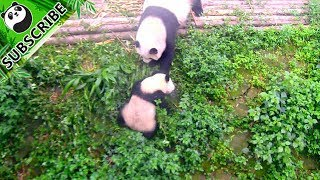 Hungry panda mom is not happy with her naughty kid