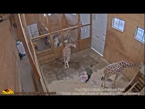Xxx Mp4 Giraffe Cam Animal Adventure Park 3gp Sex