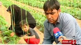 Iran Sarmaran village, Cucumber greenhouse خيار گلخانه اي روستاي سارمران شهرستان اسفراين ايران
