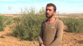 كاميرا نبأ ترافق عملية قطاف الزيتون في درعا