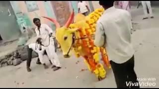 Funny Cow Video | Jalak Dika laja Parody | Cow fight with man | Pakistani & Indian Cow | Eid-Ul-Adha