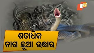 Over 100 Snake Hatchlings Found Inside House In Bhadrak