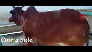 Cow for sale Red sindhi cow in tamilnadu