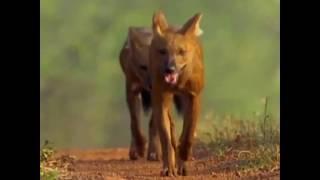 الكلاب البرية الهندية تصطاد الأيل الأرقط القوي وطويلة القامة؟|CCTV Arabic