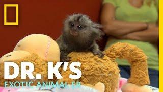 A Marmoset Mama | Dr. K's Exotic Animal ER