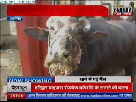 OMG! Aligarh police arrests buffalo for injuring four people