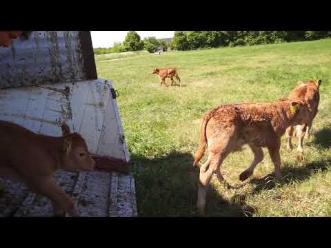 Rinderhof in Schrobenhausen mit Limousin & Wagyu Rindern im Mai geht es auf der Weide