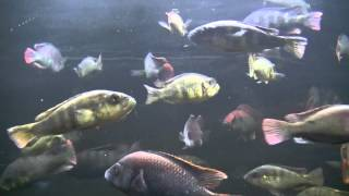 Swimming fish video for cats, 3 HOURS OF FUN